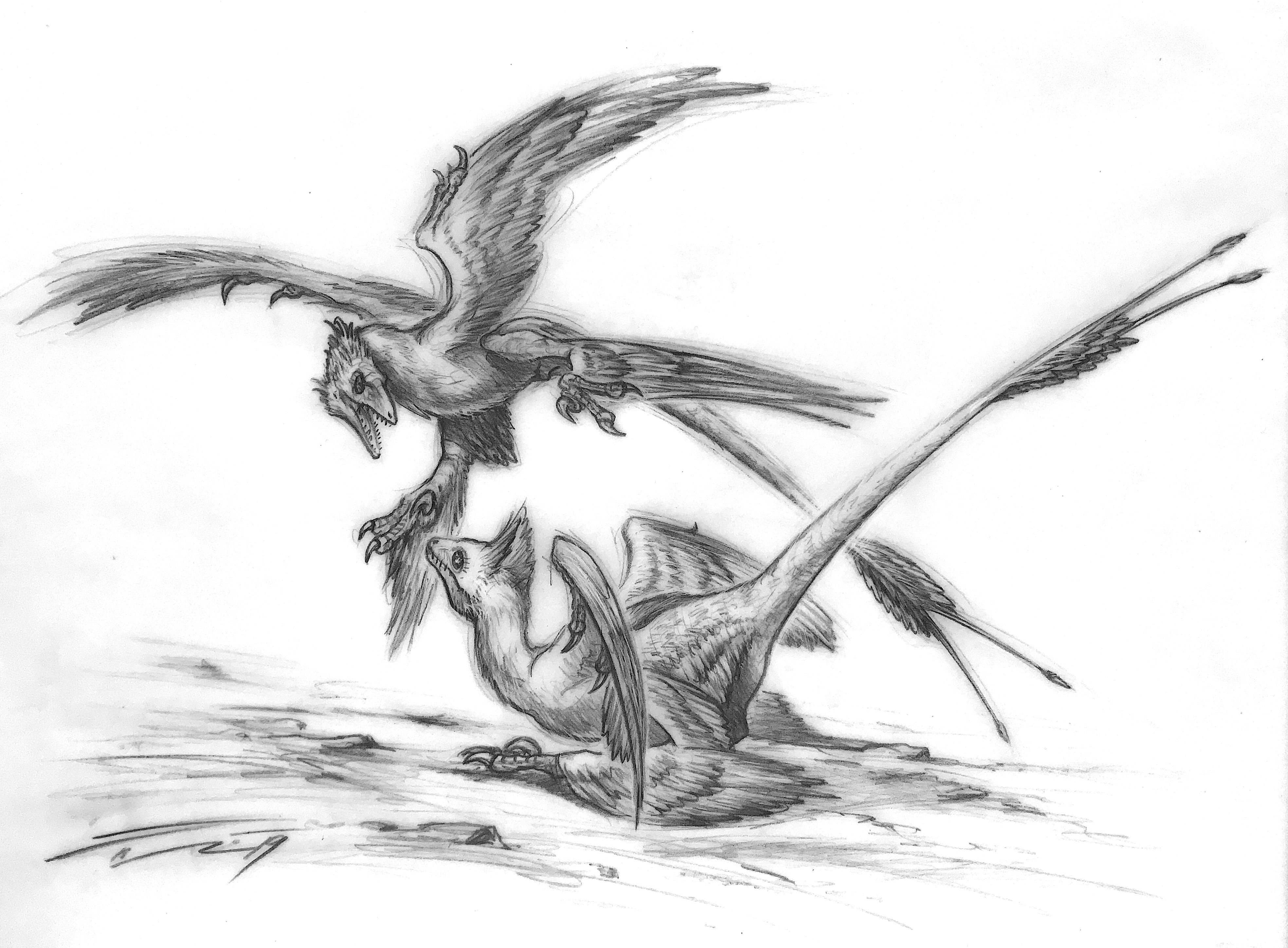 The courting dance microraptor gui sketch graphite hb on vellum